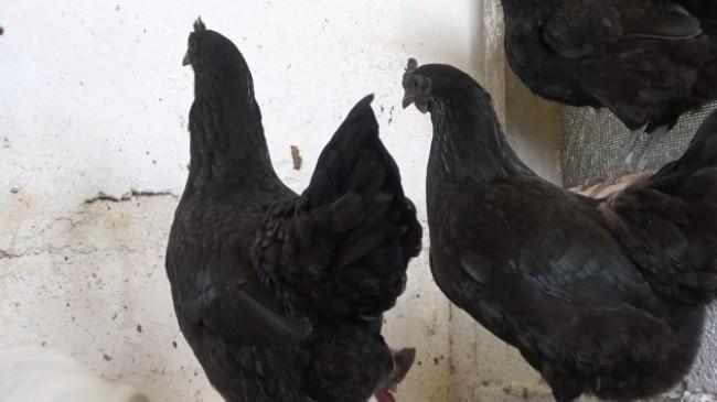 'Ayam Cemani' cinsi horoz ve tavuk görenleri şaşırtıyor: İç organları dahi kömür karası