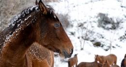 Minik Kuzey'in Spil'deki yılkı atlarıyla imtihanı