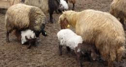 Muş'ta süt kuzularının anneleriyle buluşma anı renkli görüntülere sahne oldu