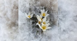 Bitlis'te kardelen ve çiğdemler çiçek açtı