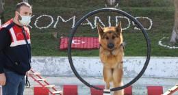 """Jandarmanın süper burunları """"komando"""" gibi eğitiliyor"""