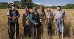 Silifke Balandız'da Ata Tohumu Sarı Buğdayın İkinci Hasadı Yapılıyor